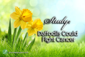 Study: Daffodils Could Fight Cancer